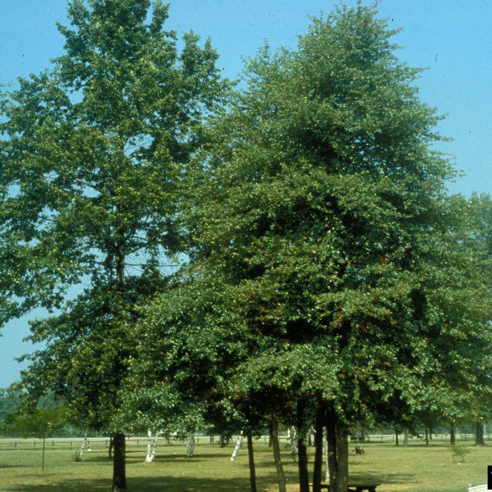 black-tupelo-gum-tree-pictures