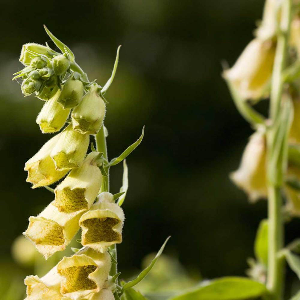 Yellow Digitalis