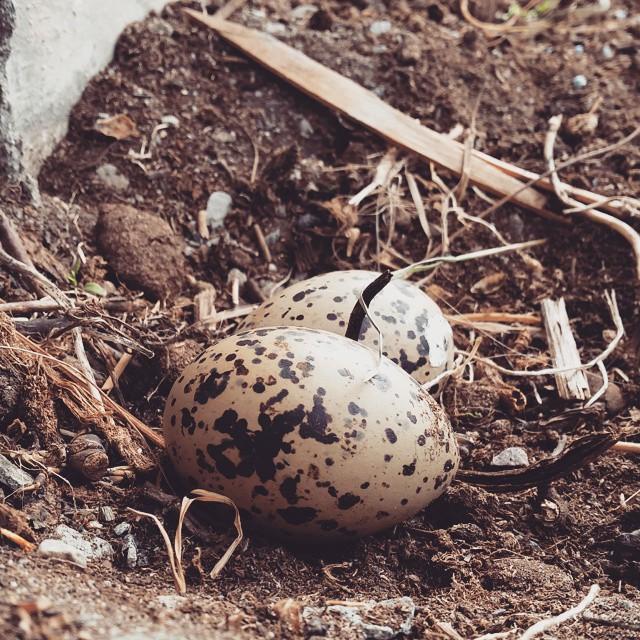 Tjelden har lagt egg🐣#egg #bird #spring #lyngenphotoworkshops #lyngenhavfiske #lyngen