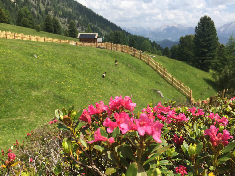Alpenrosen ütia ciampcios.jpg