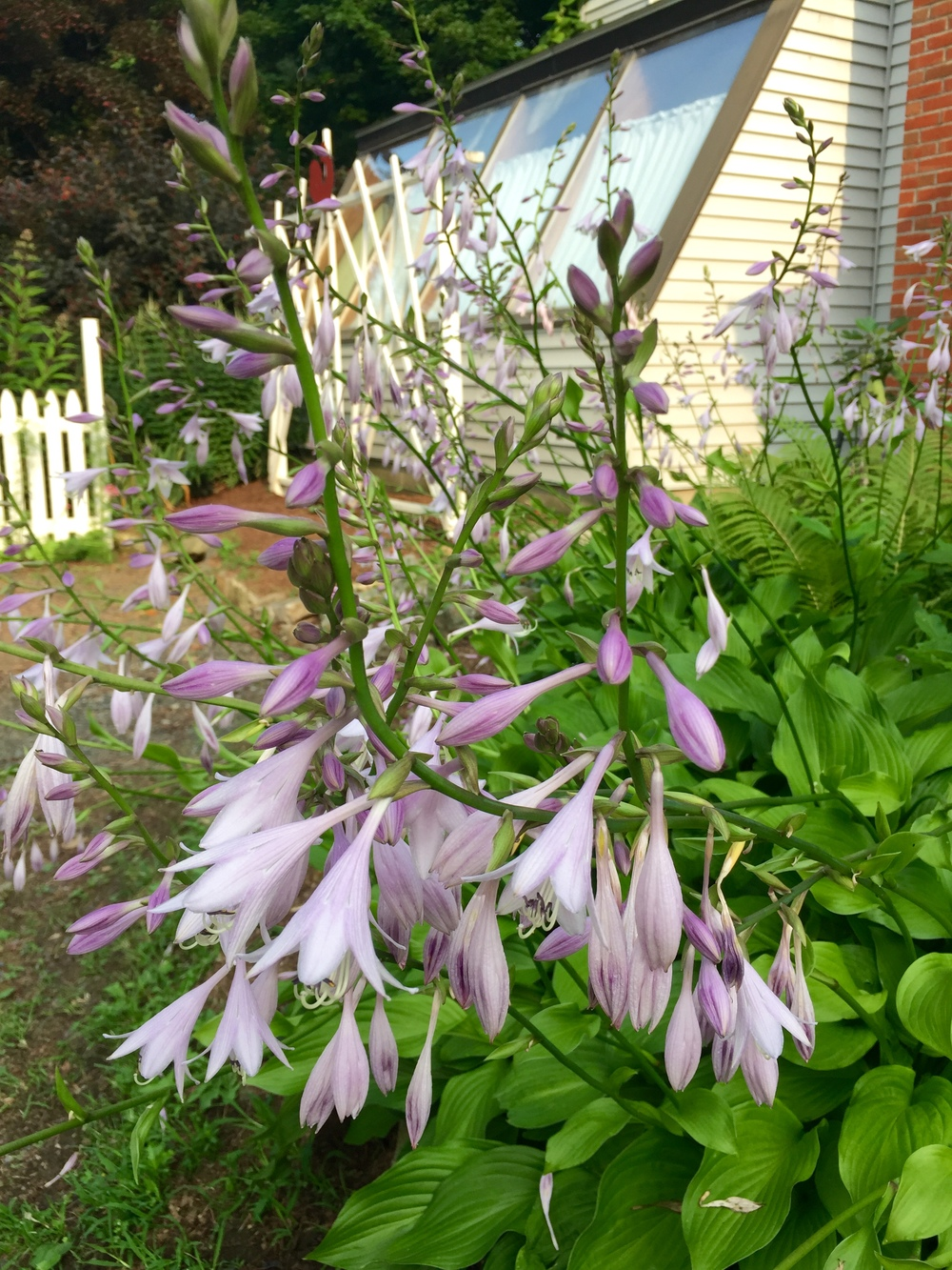 The lowly plain green hosta