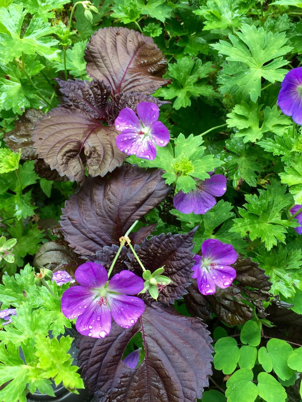 Here's my curly perilla in another bed, scattered with Rozanne geranium blooms.