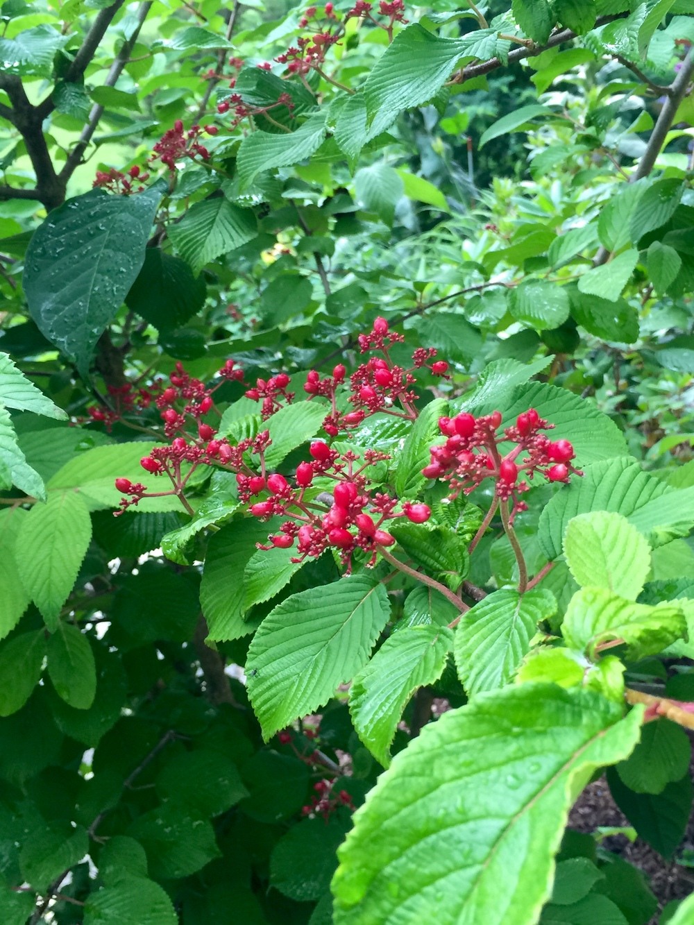Lovely red berries of the doublefile viburnum