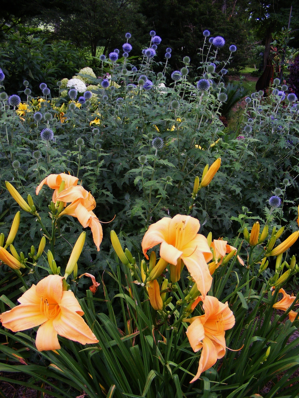 Echinops and daylilies