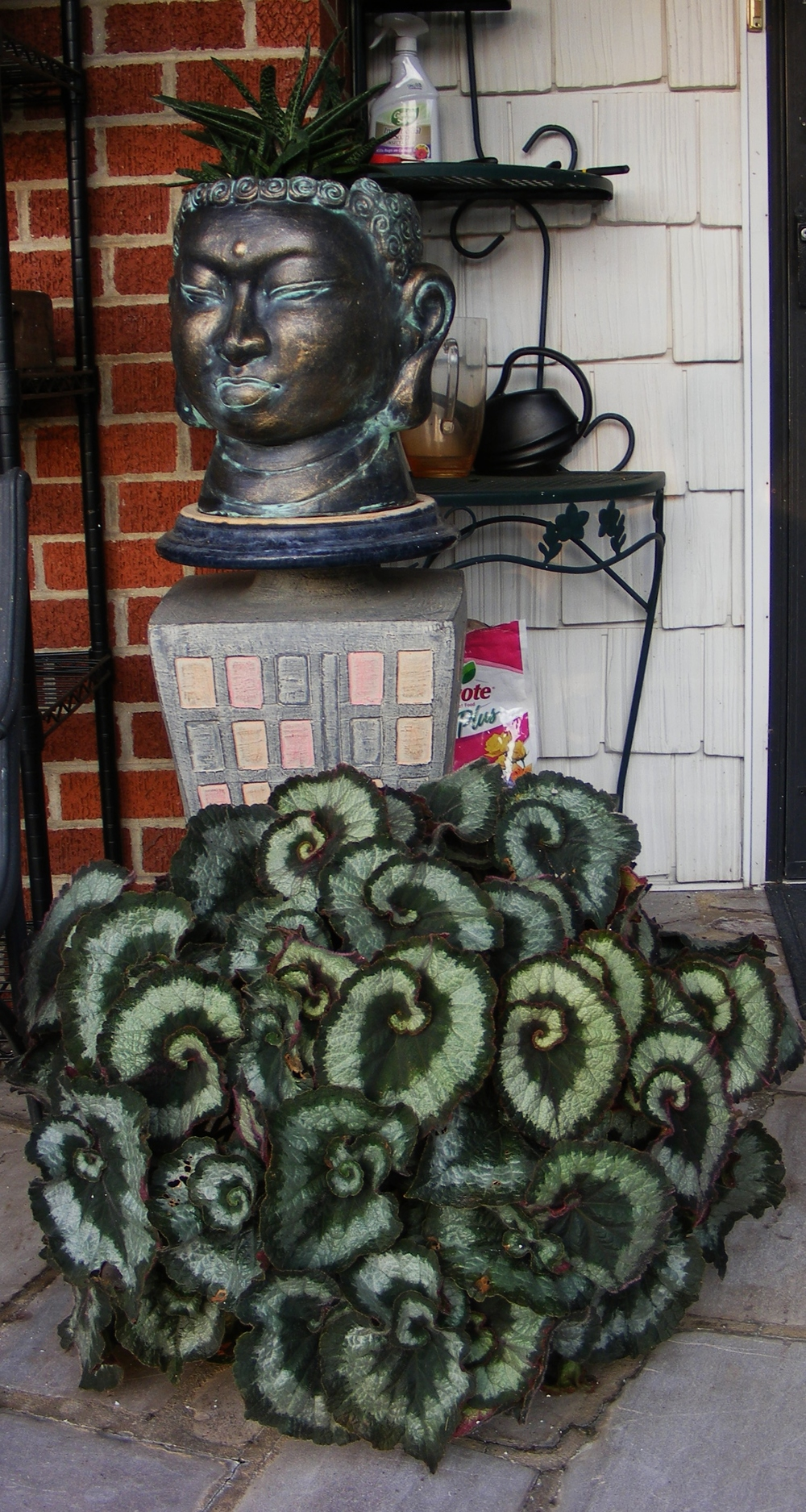 Begonia  'Escargot' with Osmocote product placement