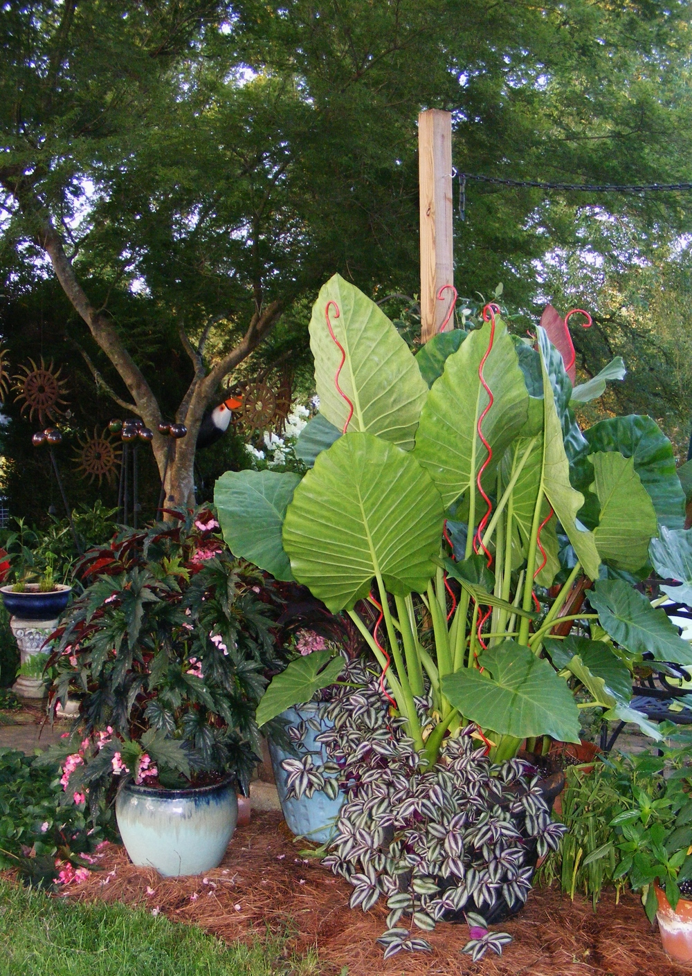 Colocasia gone wild