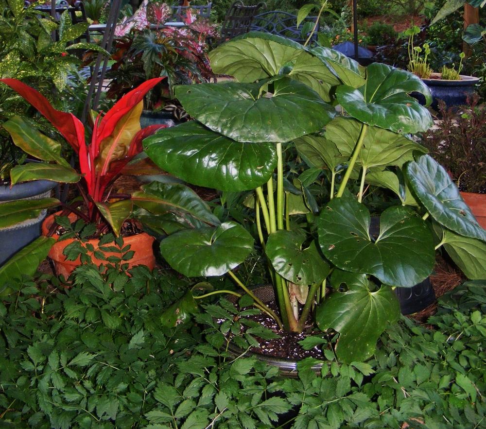 Fargugium   japonicum  var.  giganteum