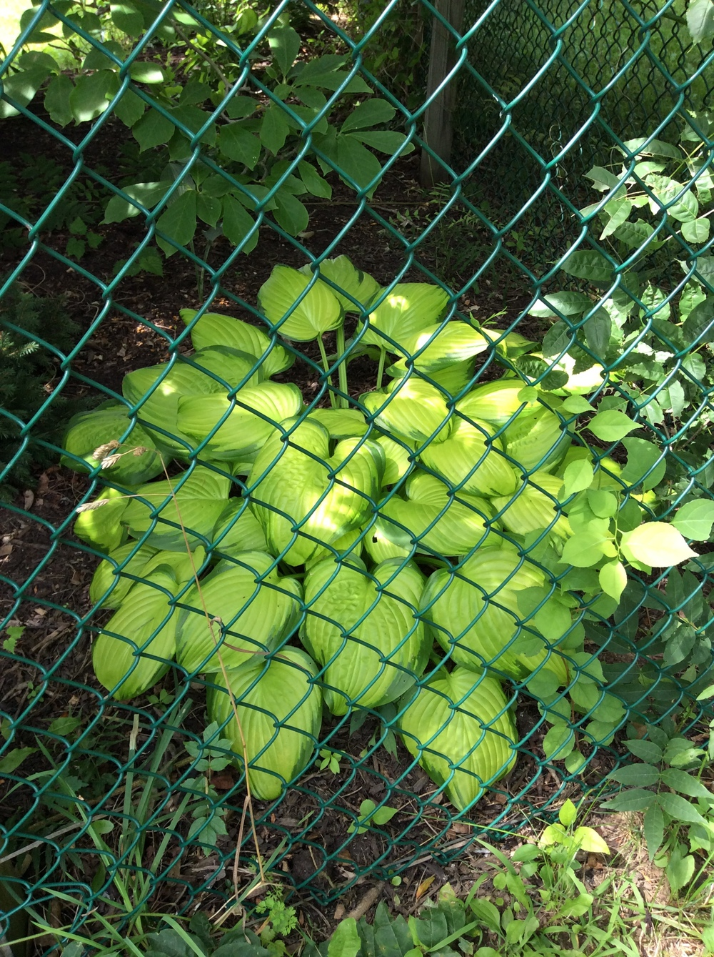 Through the fence I spotted this gorgeous hosta, but I have no name for it.  I need to keep records.