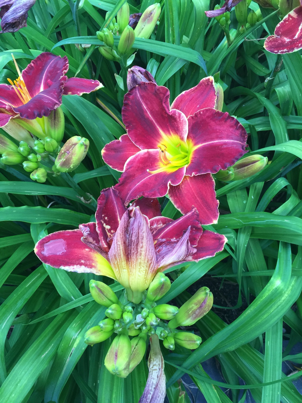 A Visit To Jims Daylilies In Upstate New York Gardeny Goodness