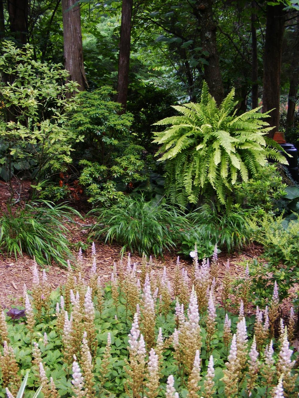 'Rita's Gold' Boston fern