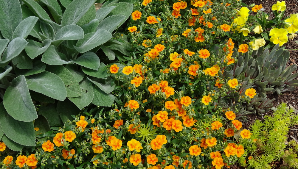 Don't you love the perkiness of the  Helianthemum nummularium ? I adore this little ground hugger!