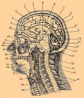 Drawing of side view of head