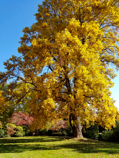 tulip_poplar_in_fall_colors