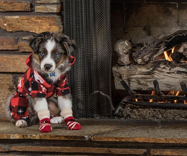 Miso... . . . . . #aussie #miniaussie #australianshepherd #christmas #fireplace #puppy #dog #doggo #socks #dogclothes #cute