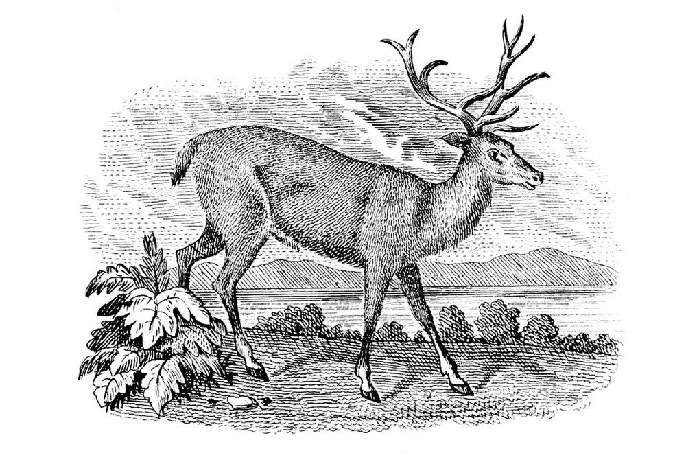 Deer-VintageGraphicsFairy1.jpg