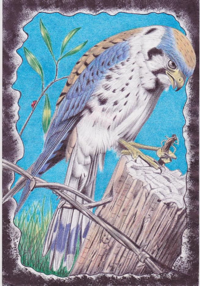 Kele - An American Kestrel