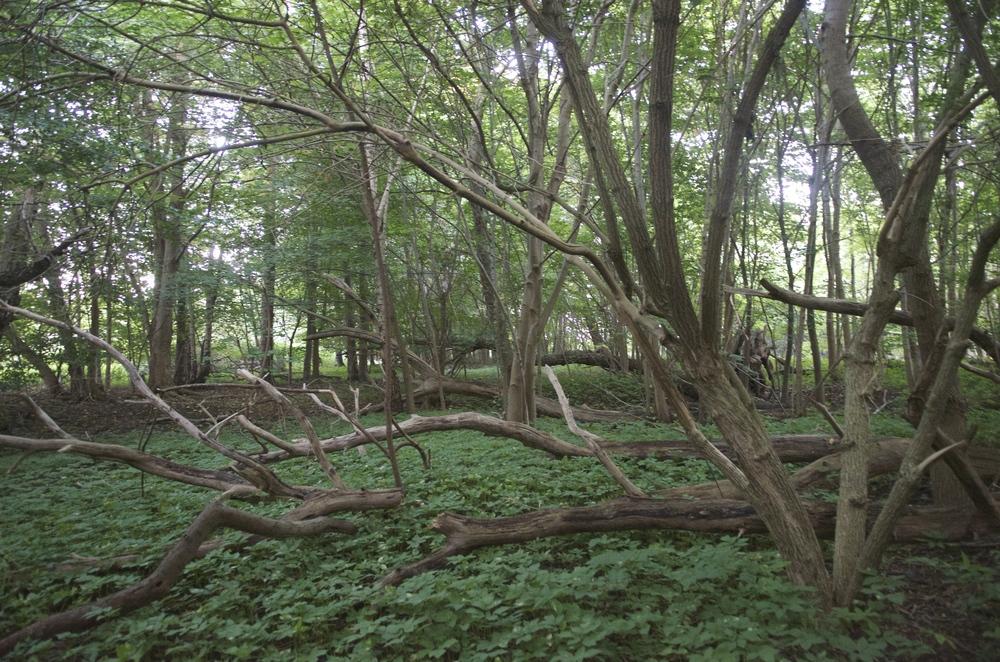 Flere træer i statsskovene skal have lov til at blive gamle og derefter ligge døde i skovbunden. Livstræerne skal give nødvendige levesteder til dyr og planter. Arkivfoto:   AOB