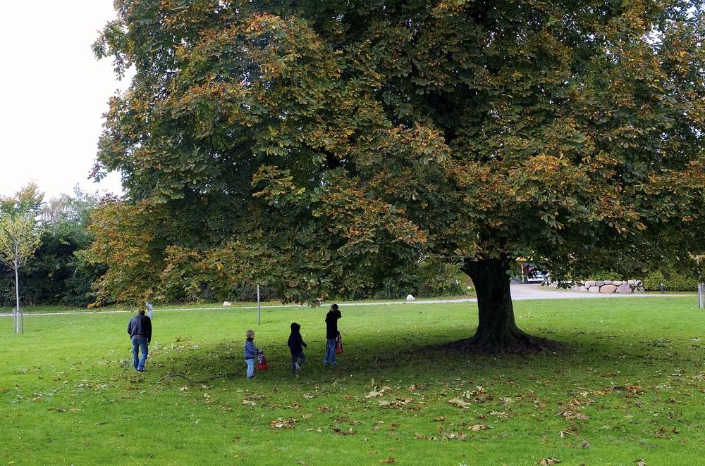 På Grønholmen står der flere store kastanjetræer, som netop nu smider sin frugt til glæde for mange børn - og voksne. Foto:AOB
