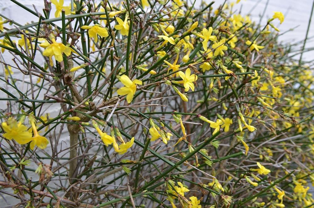"""""""Jasminen blomstrer i et væk"""". Foto: AOB"""