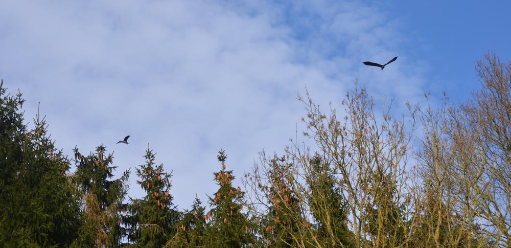 Fiskehejren kan meget let forvekslet med en stork, når man ser den i luften. Foto: AOB