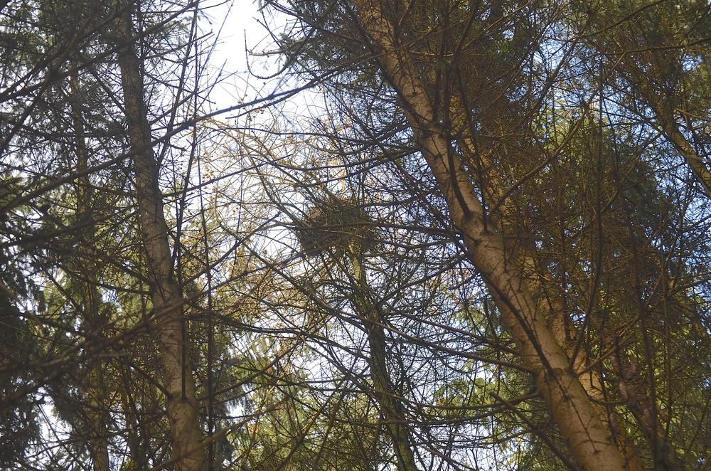 På et luftfoto kan man se, at kolonien består af over 30 reder, og vor fotograv skønner, at der pt. er omkring 20 beboede reder i trætoppene. Foto: AOB