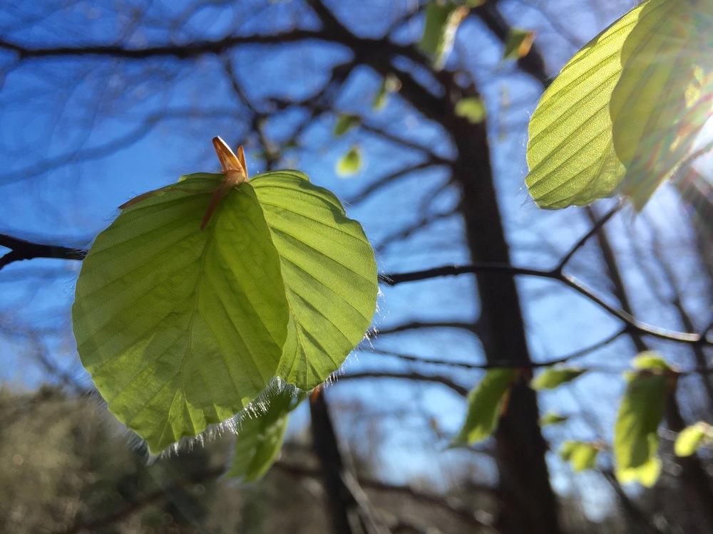 """""""Forår er, når bøgen springer ud..."""" Foto: AOB"""