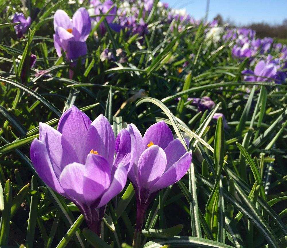 """""""...samt blomsterflor viser, nu er forår kommet."""" Foto: AOB"""