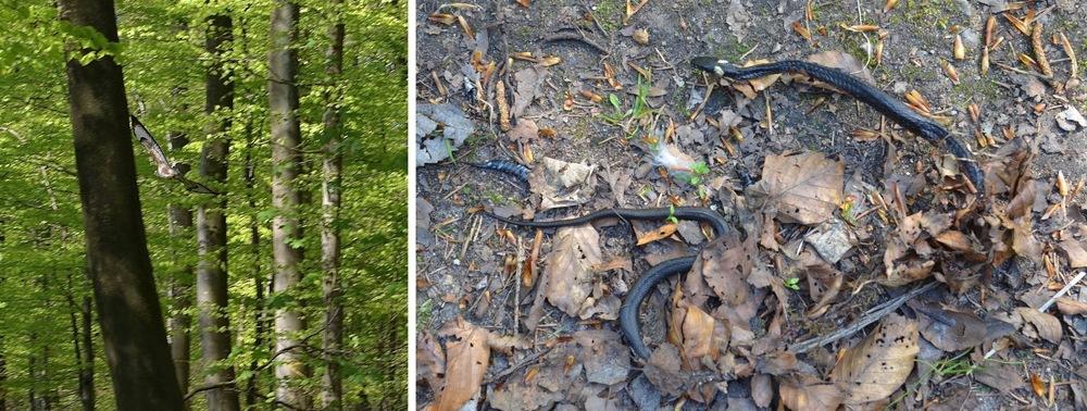 Lavt under bøgetræernes kroner flyver en rovfugl (musvåge), og på skovbunden er der en snog. Foto: AOB