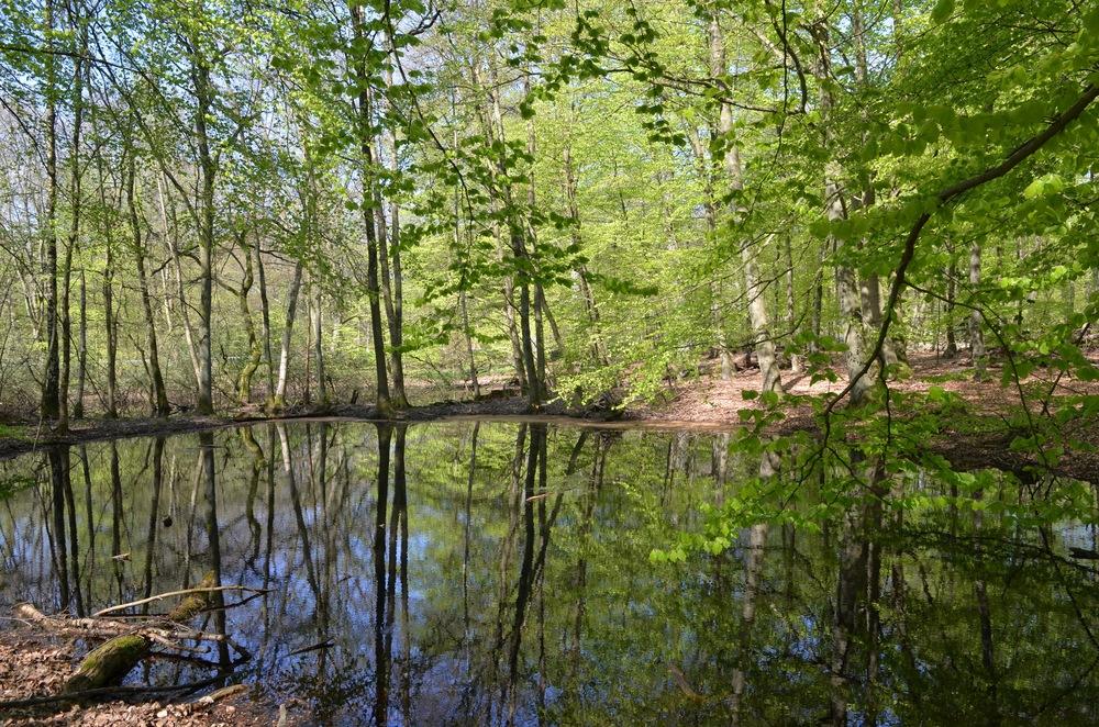 Ved udkanten af Tokkekøb Hegn ligger der en lille skovsø, hvor bøgetræerne spejler sig i vandet. Foto: AOB