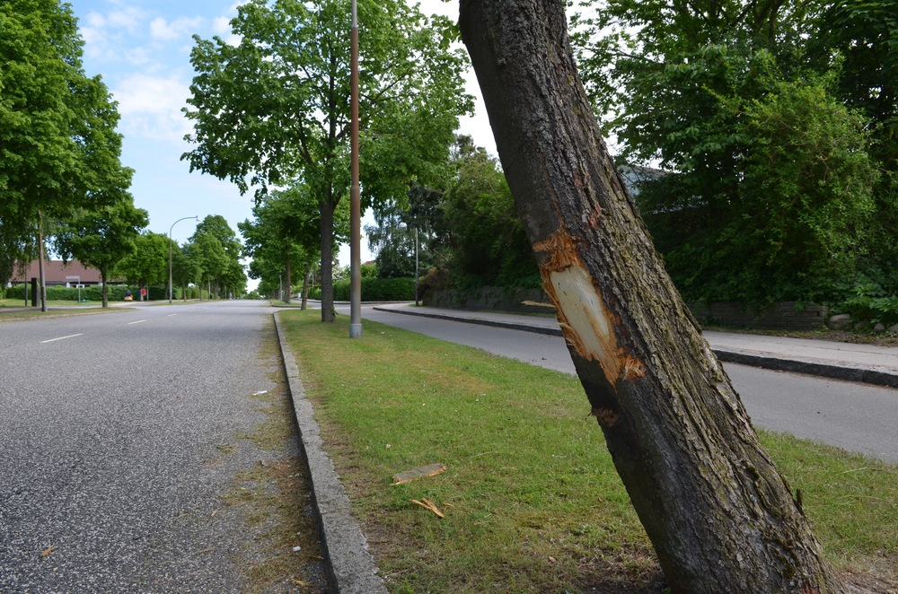 Det påkørte vejtræ på Sjælsø Allé, hvor barken er skrælle af. Foto: AOB