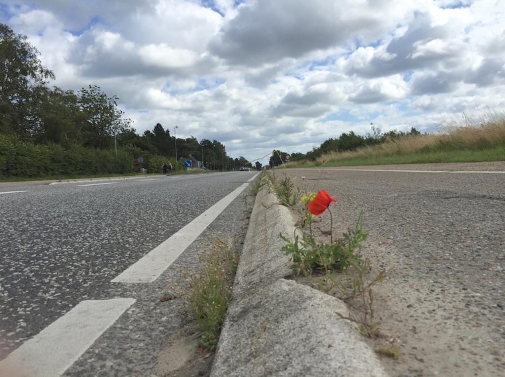 Hvilken blomst står der på Kongevejen ved kantstenen? SVAR: En valmue. Foto: AOB