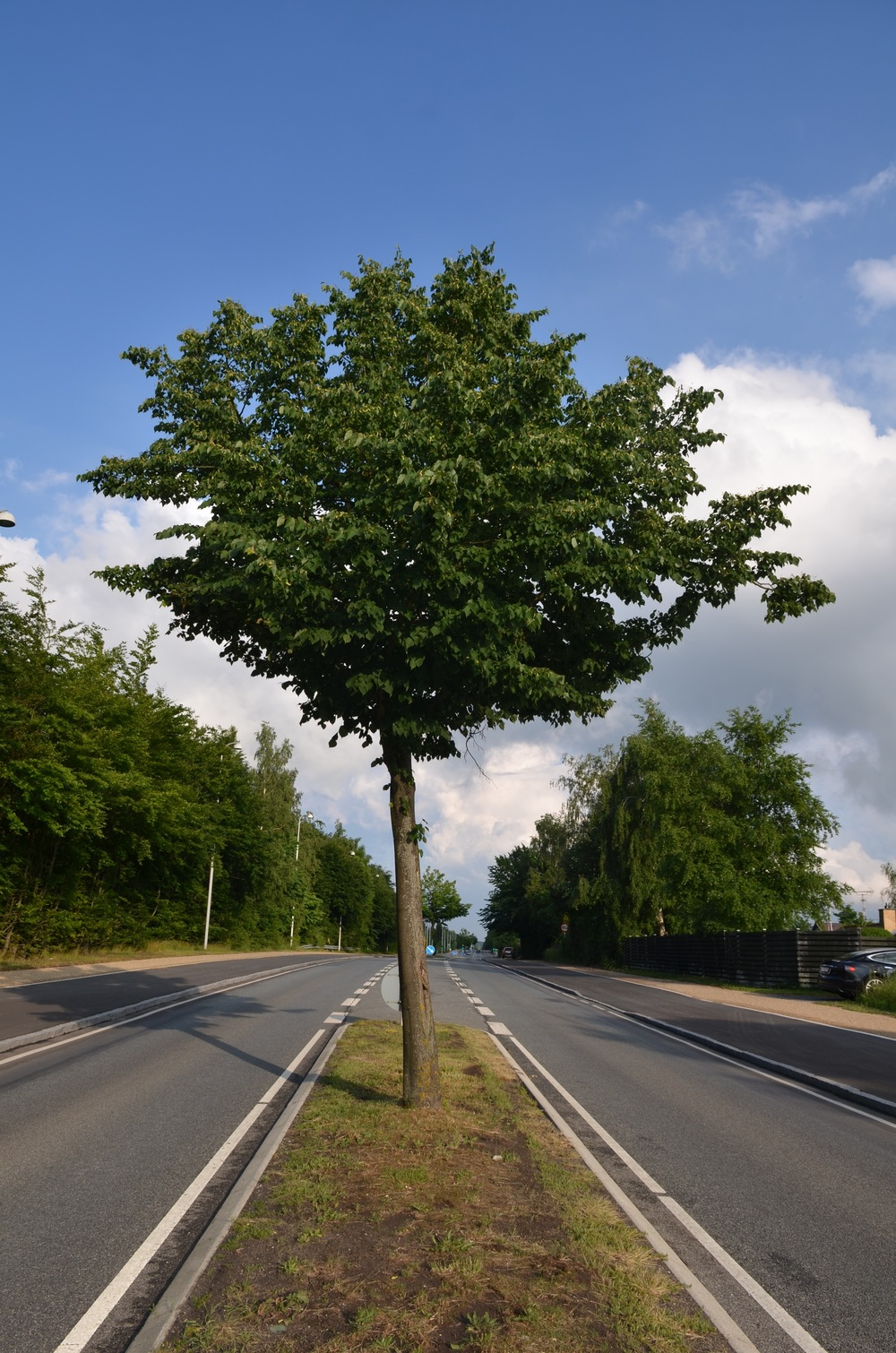Plantebredden for træet på Kongevejen i Birkerød er 2,10 m og i Blovstrød kan plantebredden blive 2,20 m. Og træerne i Birkerød ser ud til at have det helt fint   og generer i øvrigt ikke trafikken. Foto AOB