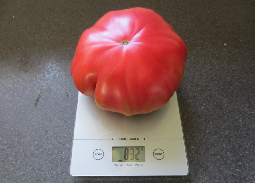 Vægten, som tomaten ligger på, er 14 cm bred, så vi skønner, at denne flotte kæmpetomat er ca. 18 cm i diameter. Er der nogen tomatdyrkere her i Blovstrød, som kan slå denne rekord? Foto: Lars Lund
