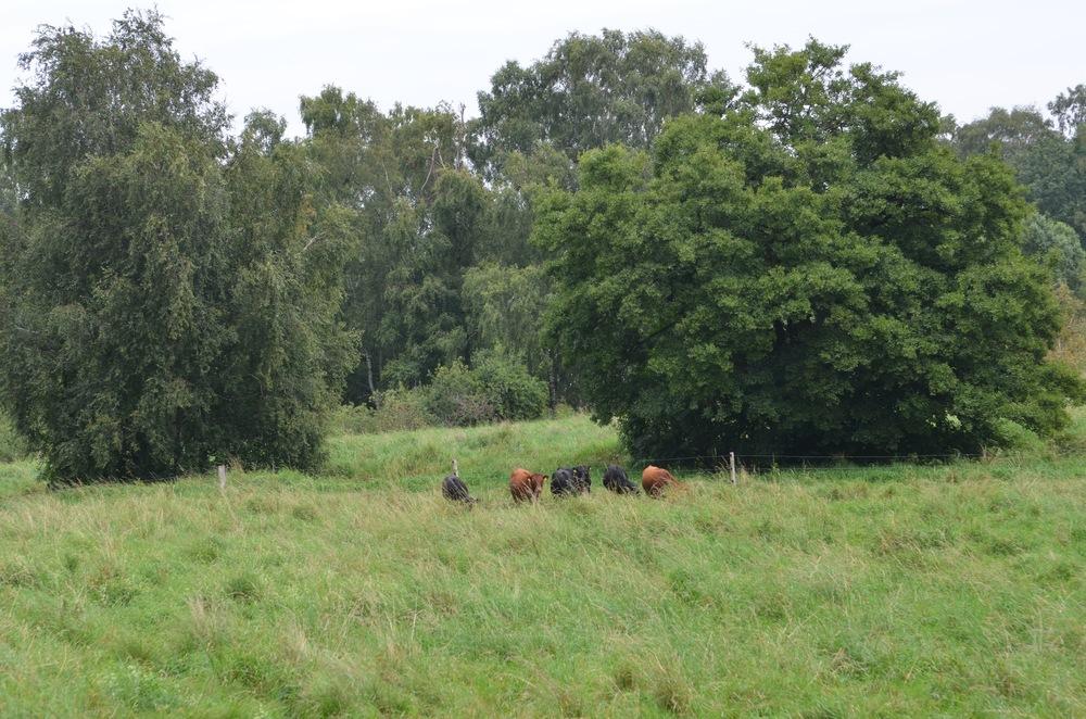 Og pludselig møder man 6 små køer. Foto AOB
