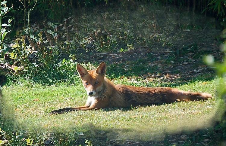 Tålmodighed belønnes med at 'fange' Mikkel ræv, som soler sig i en lysning på engen. Foto: AOB