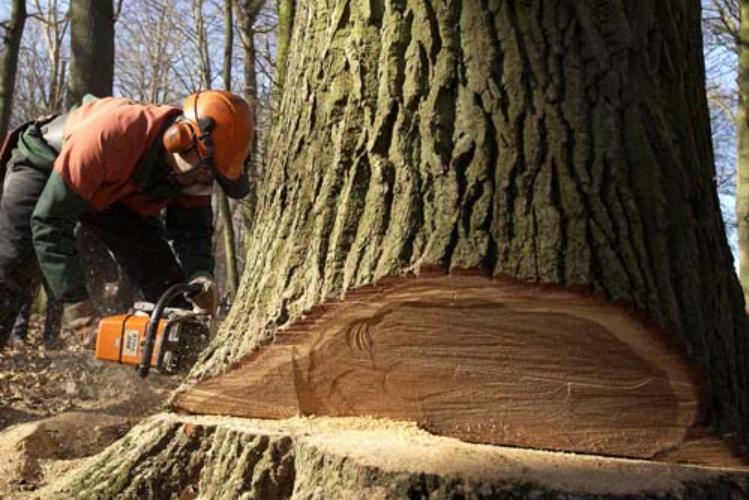 Der vil blive skovet løvtræer i Tokkekøb Hegn i løbet af oktober måned. Foto: Naturstyrelsen