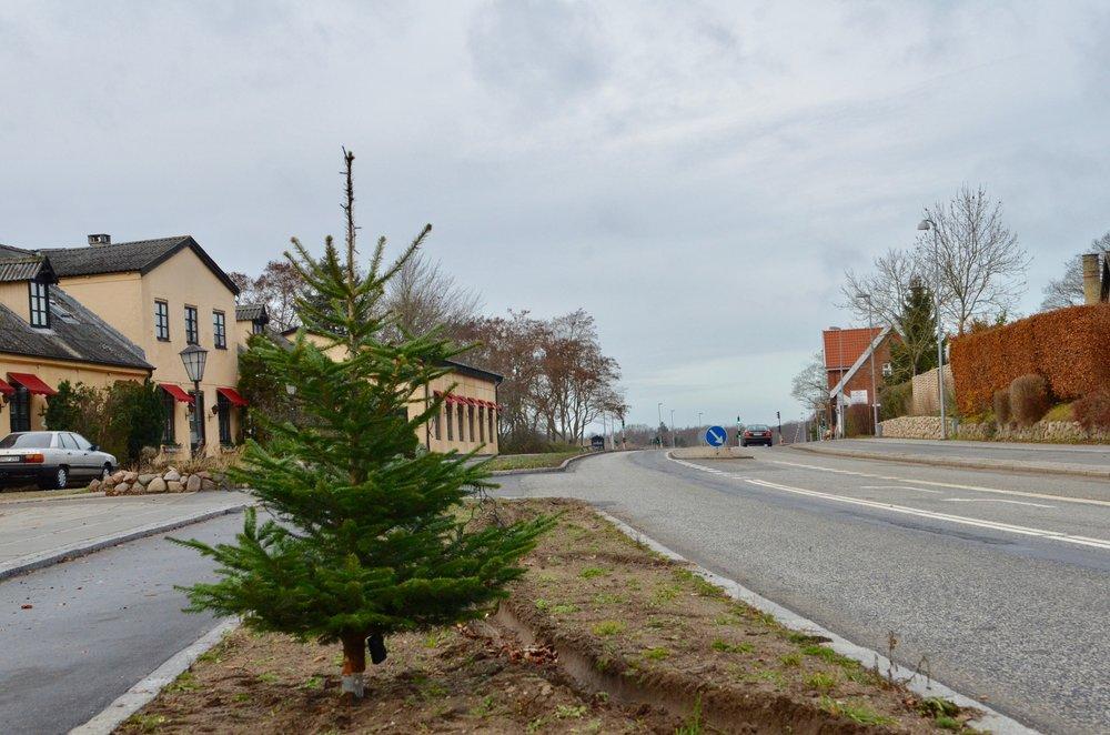 Det første træ er nu sat langs Kongevejen - det er et juletræ, som dog helt sikkert bliver fjernet, når de store platantræer bliver plantet - her før jul. Foto: AOB