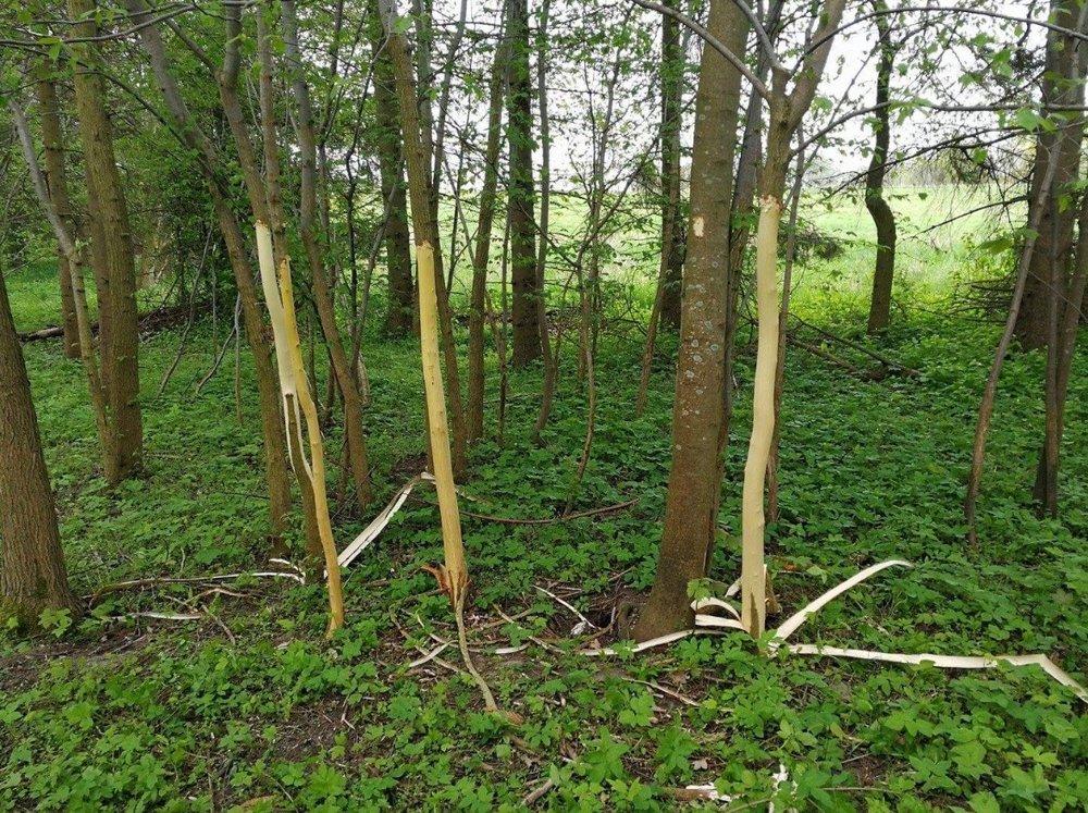 Hærværk af træer: Disse fire afbarkede træer vil hurtig gå ud. Foto: Tine Woldby