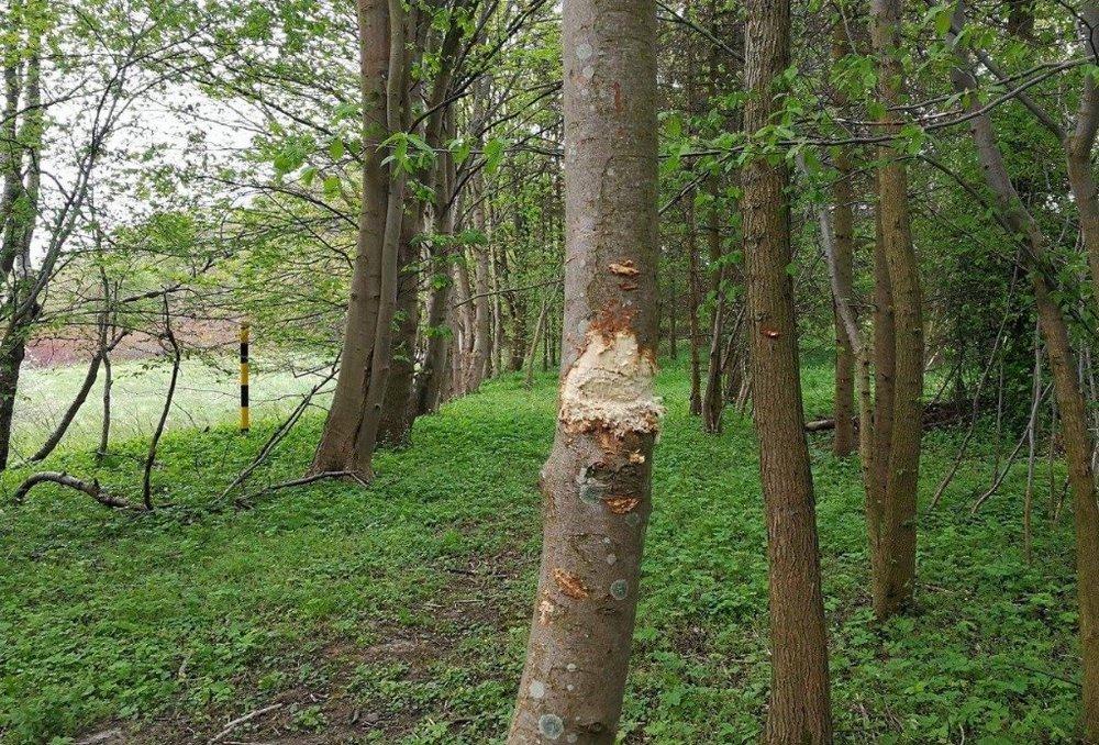 Hærværk af træer: Dette træ vil aldrig overleve. Foto:Tine Woldby