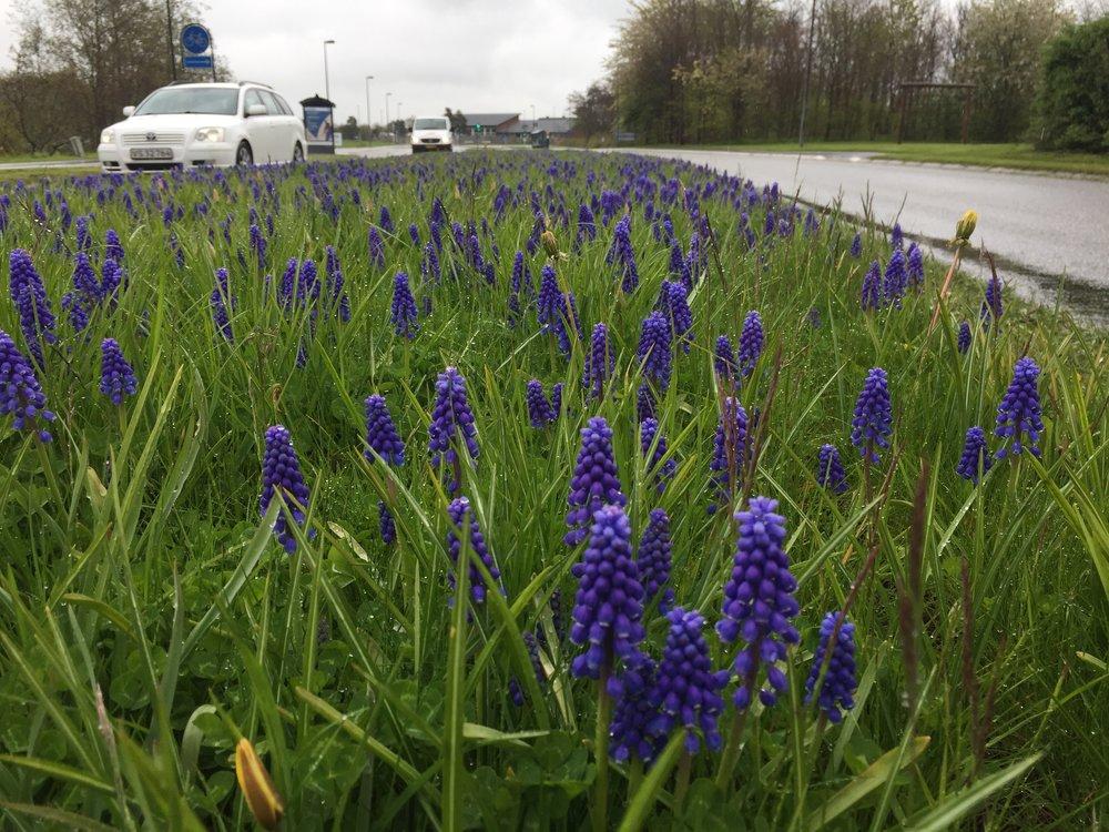 Ved Sortemosevej - ud for Blovstrød Idrætsanlæg - er der siden april skudt hundredvis af perle-hyacinterne op i den brede midterrabat. Blomstringsperioden strækker sig til pænt ind i maj måned. Foto:AOB