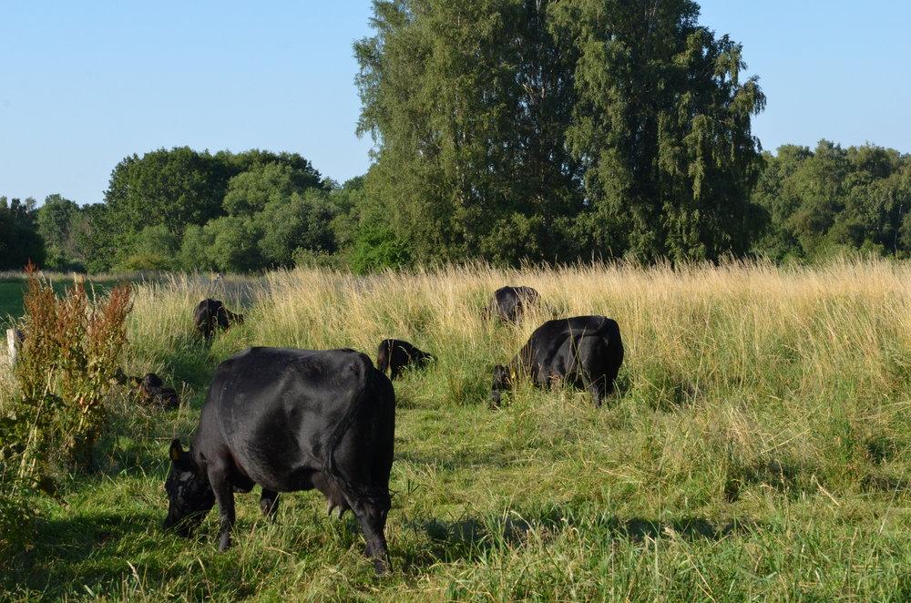 Den samlede besætning består nu af fire voksne køer og to kvier. Foto: AOB