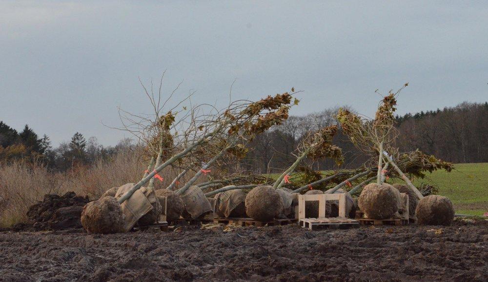 Ca. 20 platantræer venter på at komme i jorden inden for de næste par dage. Foto:AOB
