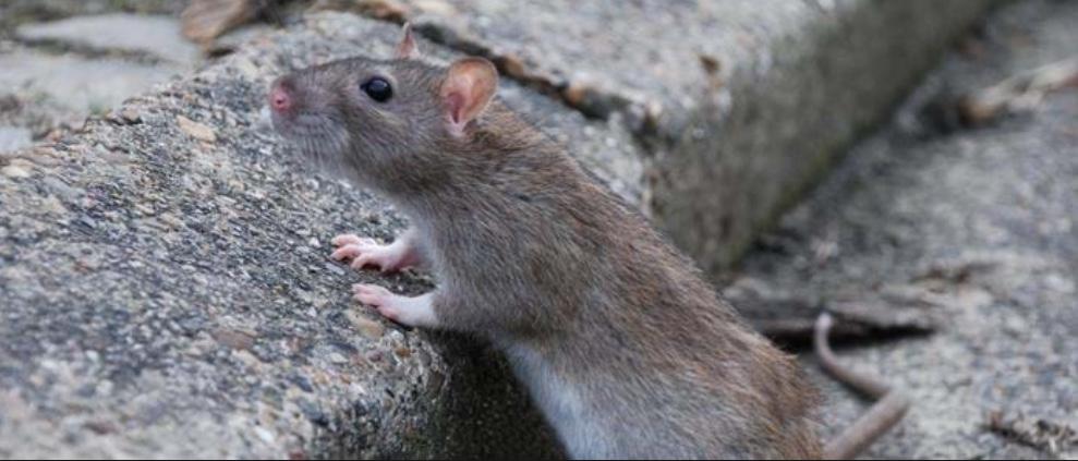 Rotter kan overføre 55 forskellige sygdomme og har de seneste år været et stigende problem i Danmark.  En rotte kan klemme sig igennem et hul med en diameter på bare 20 mm.
