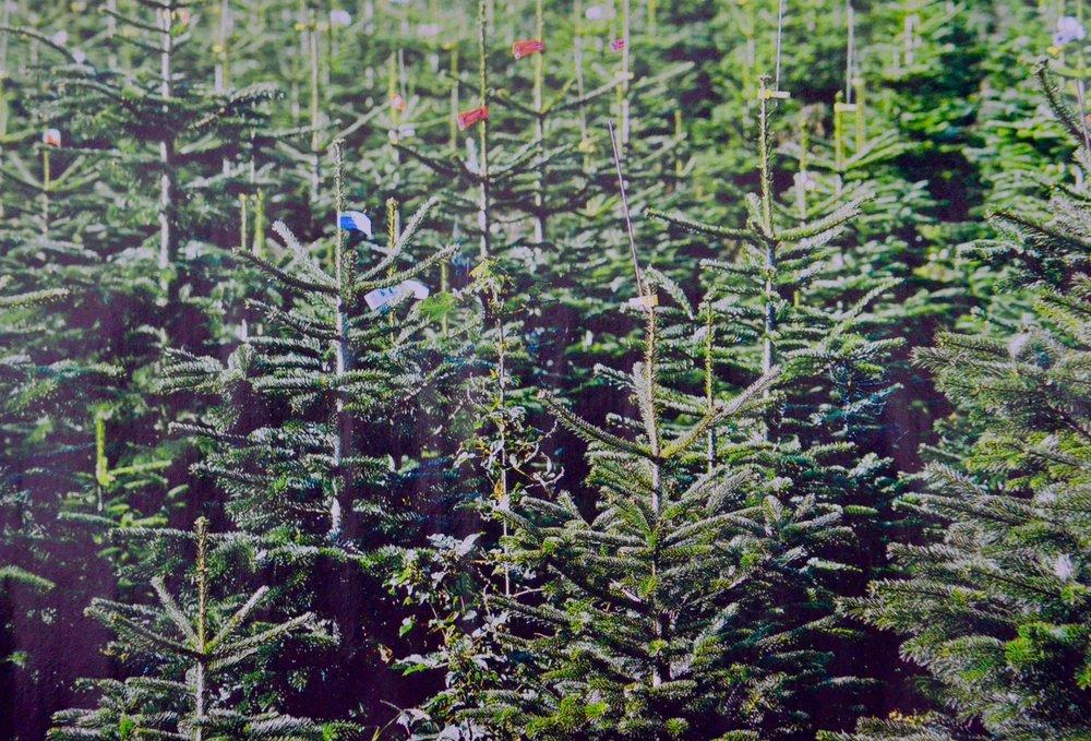 Hvert år bliver der produceres 12 millioner danske juletræer, hvoraf de 10 millioner eksporteres til Tyskland, England, Holland, Sverige, Norge samt flere Østeuropæiske lande. Det tager mindst 8 år fra såning til træet har fået den rigtige størrelse.