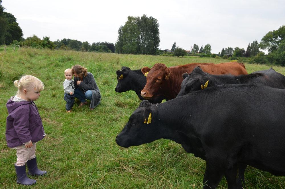 Man må gerne gå ind til køerne, og de må gerne klappes. De må også gerne fodres - men kun med gulerødder, æbler og rugbrød. Arkivfoto: AOB