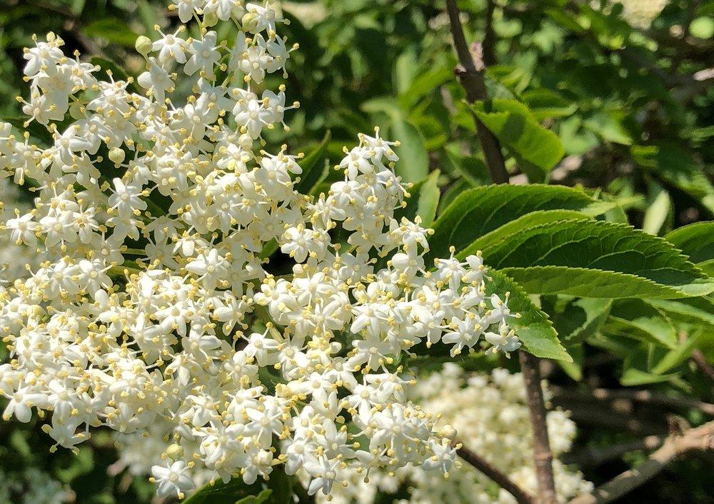 Det er buskenes blomsterkroner, man skal have fat i, og man skal beregne ca. 50 hyldeblomst-skærme .Det er en god idé at plukke blomsterne om morgenen, da det er duggen, der holder på blomsternes aroma.Foto:Stine Nyberg