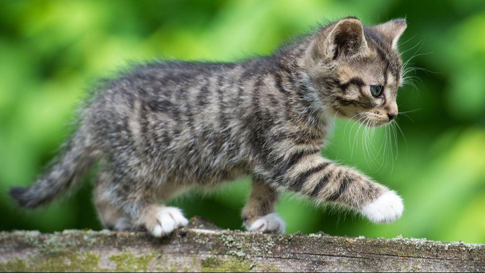 Der er ikke noget så sødt som en ungkat - men den kan dog også være til gene for naboer m.fl. Temafoto