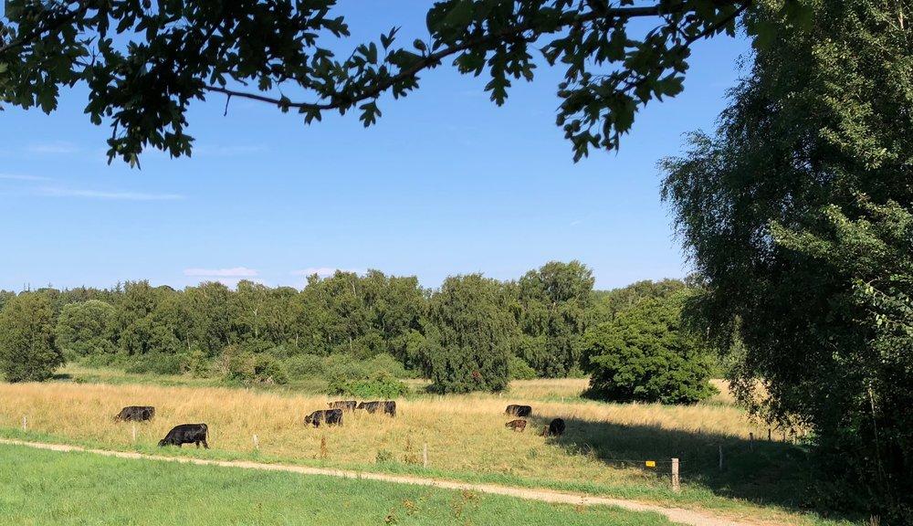 I alt går der nu 11 dexter-køer på engen - 9 voksne og to kalve. Foto: AOB