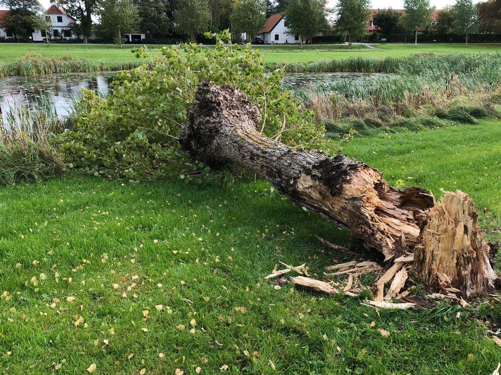 I går fik stormen lagt et af poppeltræerne ned ved gadekæret. Foto: AOB