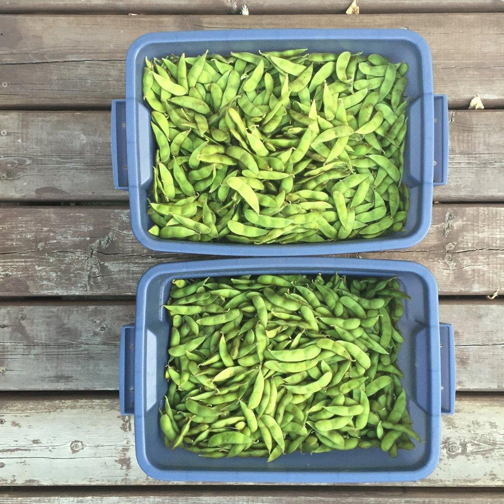 Soy Bean Harvest
